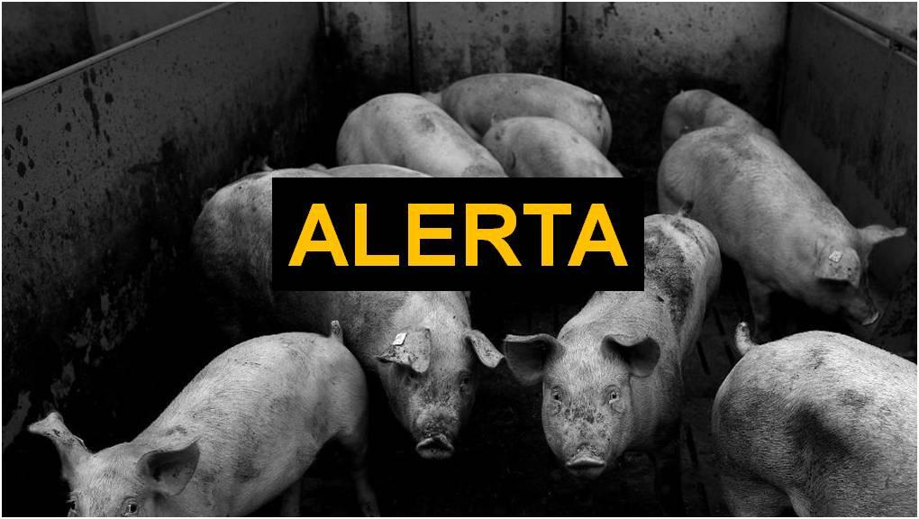 China encontra vírus em porcos com potencial de causar nova pandemia