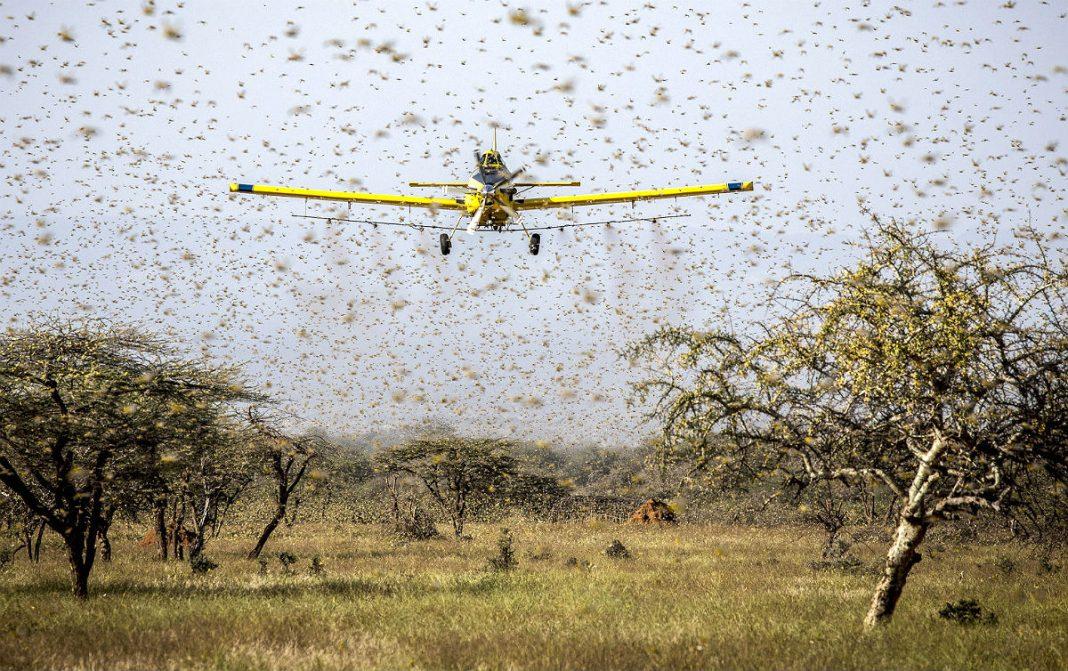 URGENTE: Brasil decreta estado de emergência fitossanitária por nuvem de gafanhotos